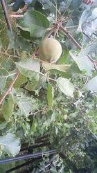摘果して1このりんご.jpg